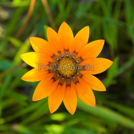 orange flower with green background