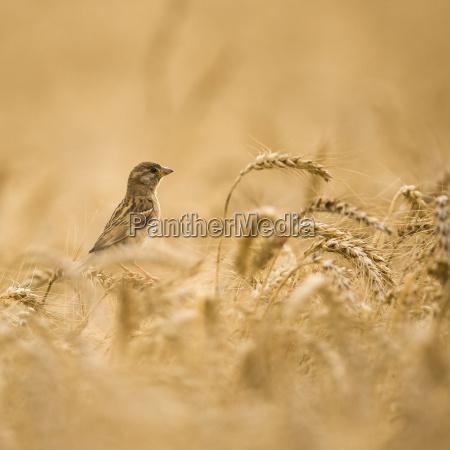 hembra house sparrow passer domesticus en