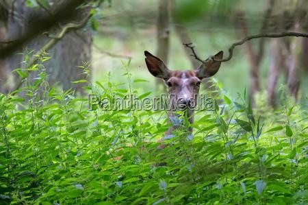 red deer hidden in the forest