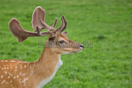 fallow deer in a clearing a