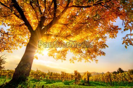 hermoso arbol en el vinyedo en