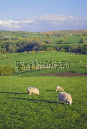 agricultura campo oveja al aire libre