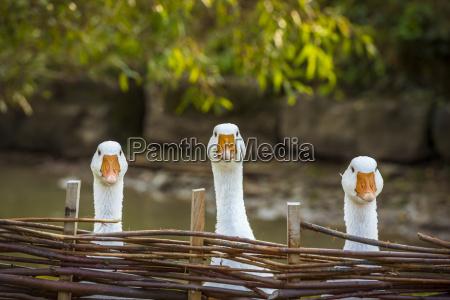 gansos blancos valla de borde valla