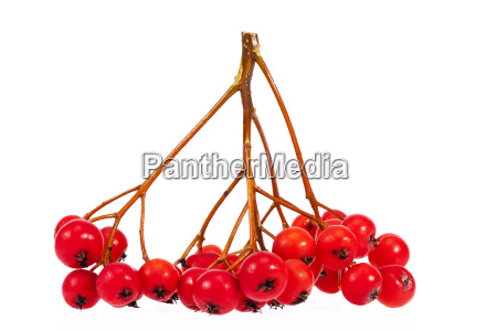 twig with red fruits of rowan