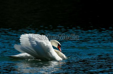 cisne pico plumaje de agua ave