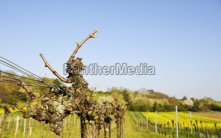 vine cut in the vineyard in