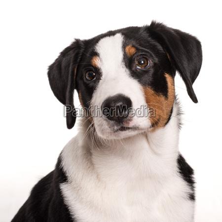 appenzeller sennenhund looks depressed