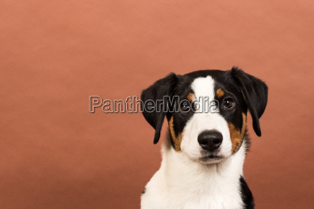 cara de perro sobre fondo rojo