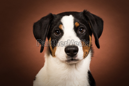 appenzeller sennenhund portrait