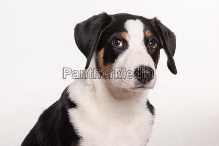 appenzeller sennenhund released in portrait