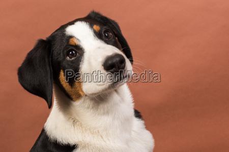 attentive appenzeller sennenhund