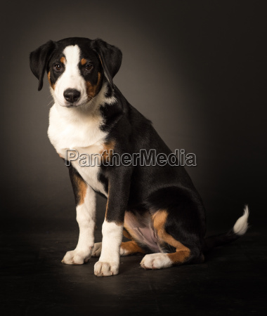 young dog in side profile is