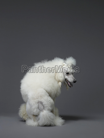 white poodle seen from behind
