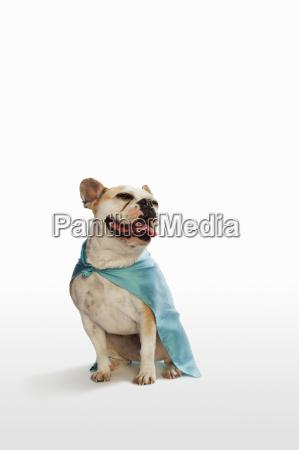 dog sitting in studio wearing cape