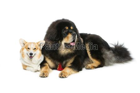 corgi y perros mastin