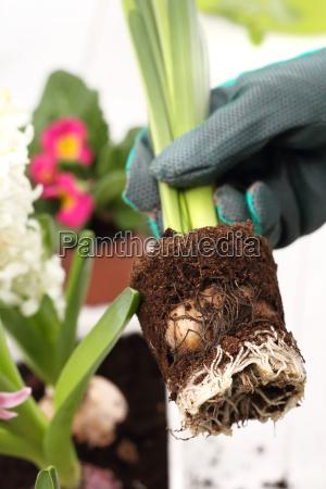 plantacion de plantas de cebolla jacinto