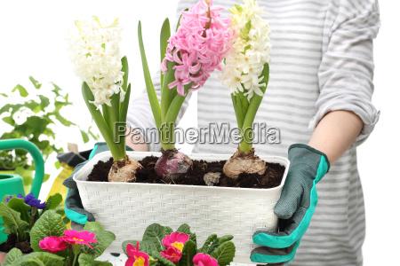 cebolla planta en maceta de cebolla