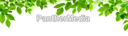 hojas verdes en blanco como ornamento