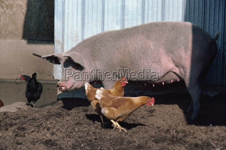 pollos y cerdos en granja columbia