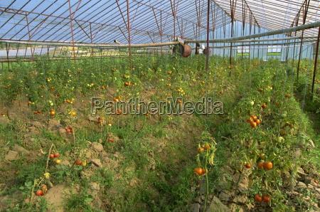 tomates en gran invernadero comercial cerca