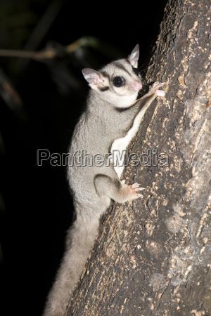 el planeador de azucar petaurus breviceps