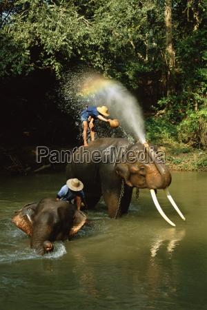 elefantes siendo lavados en el rio