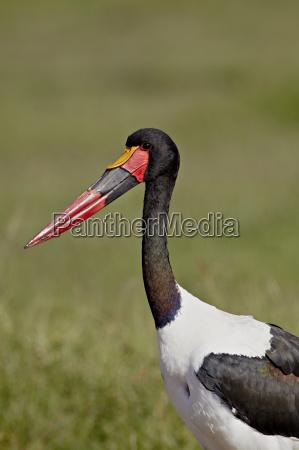 male saddle billed stork ephippiorhynchus senegalensis