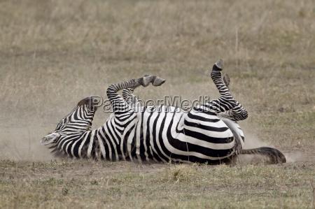 common zebra burchells zebra equus burchelli
