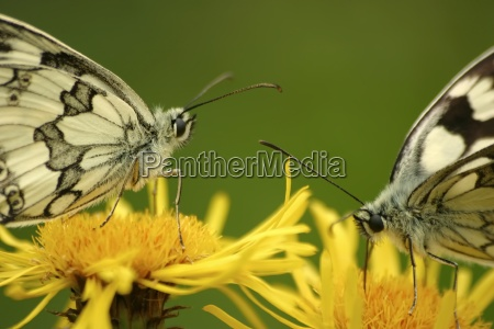 butterflies marbled white melanargia galathea on