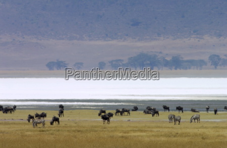 blue wildebeest ngorongoro crater tanzania east