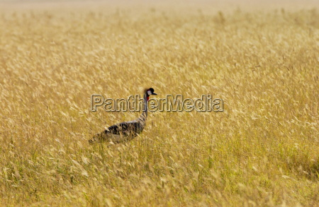 grey crowned crane ngorongoro tanzania