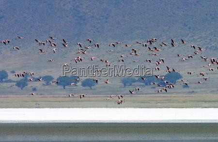 lesser flamingo ngorongoro crater tanzania east