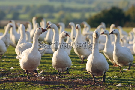 granja de gansos oxfordshire reino unido