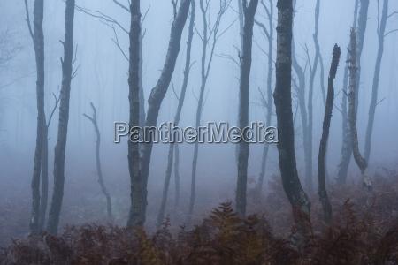 silver birch betula pendula trees and