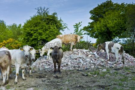 el ganado irlandes sube a los