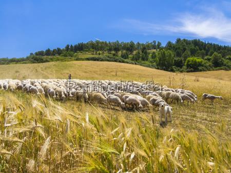 italia sicilia region calascibetta pastor y