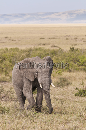 ir animal africa elefante sabana luz