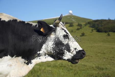 francia vaca cerca de grand ballon