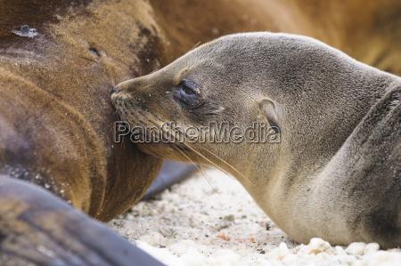 ecuador galapagos genovesa leones marinos de
