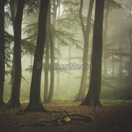 arbol arbol de hoja caduca niebla