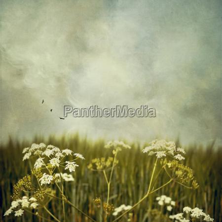 yarrow en un prado frente al