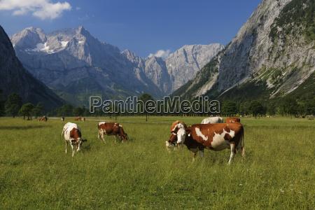 austria tirol vista de la vaca