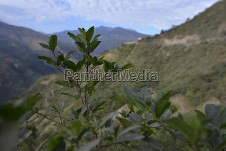 america del sur bolivia coroico coca