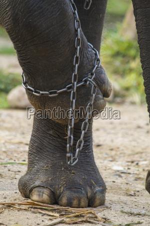 detalle animal elefante cadena al aire