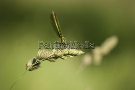 banded demoiselle calopteryx splendens sitting on