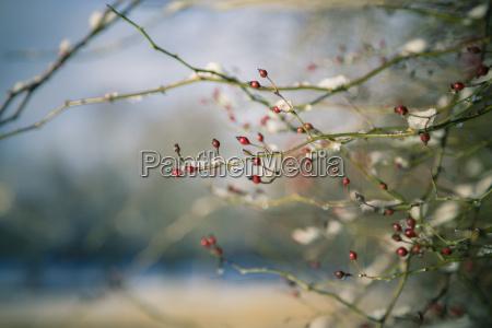 germany bavaria landshut twigs of rosehips