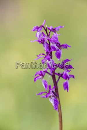 germany hesse male orchid at nature