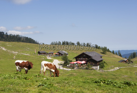 austria view of cow grazing on