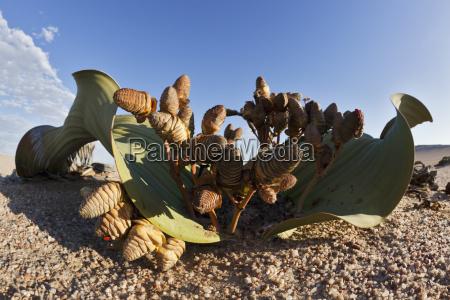 africa namibia swakopmund view of welwitschia