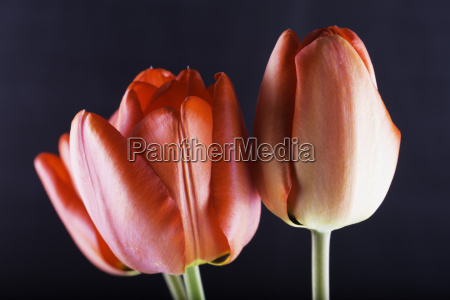 red tulips over black background